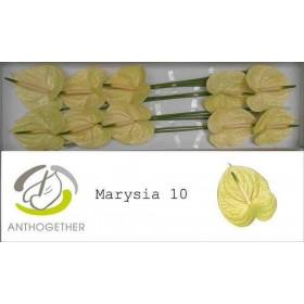 FLOR, ANTH MARYSIA X10 (preu per caixa x10)