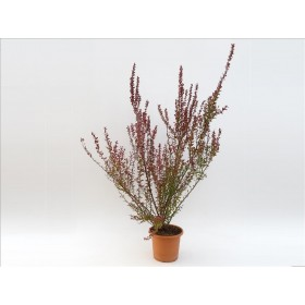 BERBERIS THUNBERGII RED ROCKET 10L