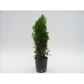 THUJA OCCIDENTALIS ESMERALDA 30/50 3L