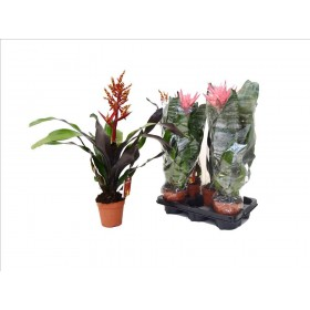 BILLBERGIA MIX M12