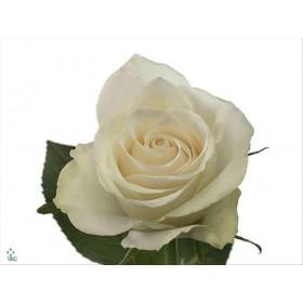 FLOR, ROSA HO. ATHENA 50cm, paq. x10 blanca