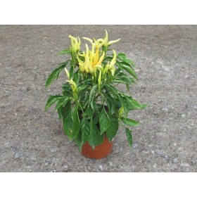 CAPSICUM ANNUUM CHILLY-CHILLY