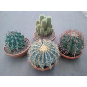 CACTUS I CRASSES MIX T25