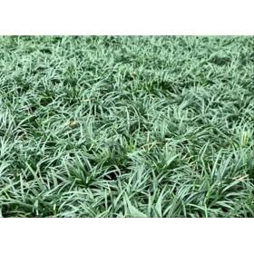 OPHIOPOGON JAPONICUM MONDO GRASS NANA B28