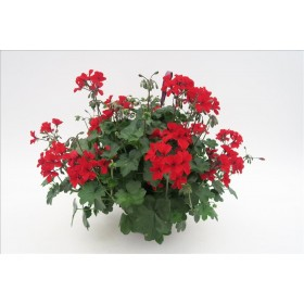PELARGONIUM CALIENTE MIX T25 - PENJADOR
