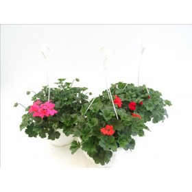 PELARGONIUM CALIENTE MIX T30 - PENJADOR