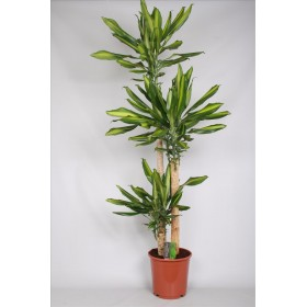 DRACAENA FRAGRANS MIX, 3 troncs-M24 150cm.