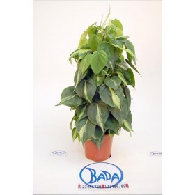 PHILODENDRON SCAND. BRAZIL TUTOR 50cm.