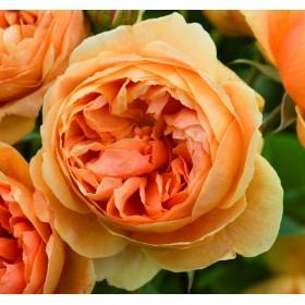 ROSA DAVID AUSTIN 6L CAROLYN KNIGHT
