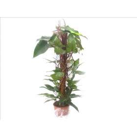 PHILODENDRON RED EMERALD M24-120cm.