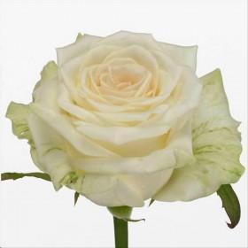 FLOR, ROSA HO. DOLOMITI 80cm, paq.x10 blanca