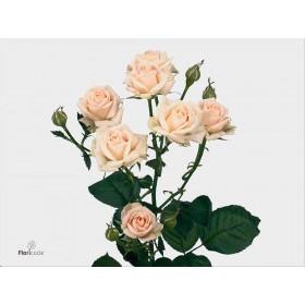 FLOR, ROSA SPRAY HO. JANA 80cm,paq.x10 beige