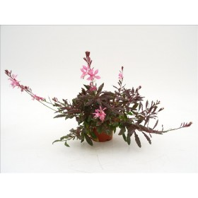 GAURA PINK FOUNTAIN M14