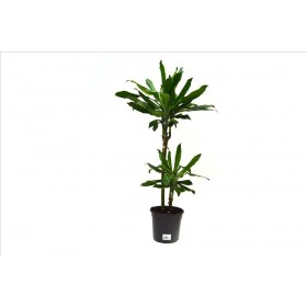 DRACAENA GOLD DREAMS, 2 troncs M17- 90cm.