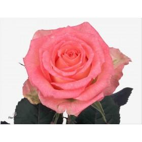 FLOR, ROSA HO. DUETT 50cm, paq.t x10 bicolor