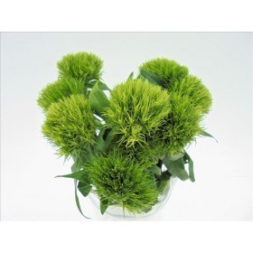 FLOR, DIANTHUS GREEN TRICK 60cm x10 tiges