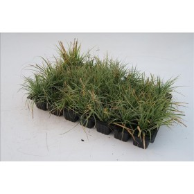 CAREX EVERCOLOR EVEREST B28