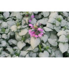 LAMIUM MACULATUM RED NANCY B28