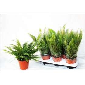 NEPHROLEPIS M14 green lady