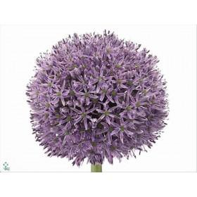FLOR, ALLIUM GLADIATOR 90cm. x10 tiges lila