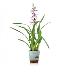 CAMBRIA BEALLARA MORNING JOY 1 vara M12- 60cm