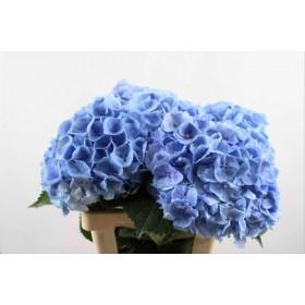 FLOR, HYDRANGEA 70cm, preu x tija blava