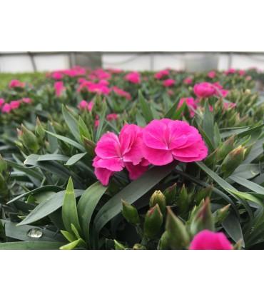 Dianthus - Claveles