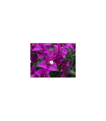 Trepadoras de Flor