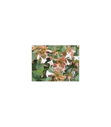 Arbustos de Flor