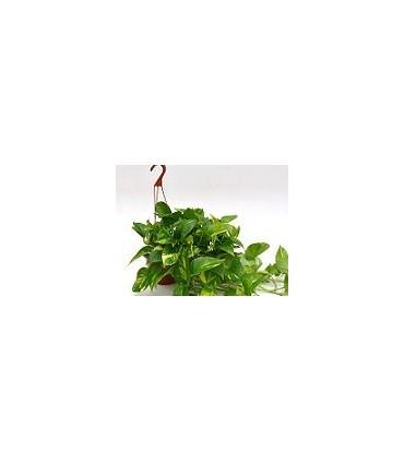 Pothos (Scindapsus)