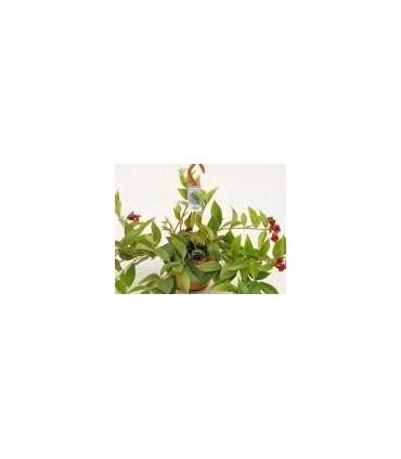 Plantas de Colgar en Flor